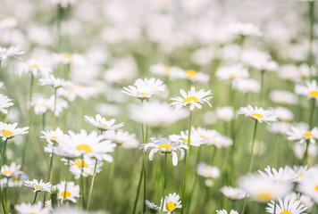 Beautiful chamomile field flowers background. Nature scene with blooming chamomilles in sun flare. Summer flowers. Beautiful meadow summer background Fototapete
