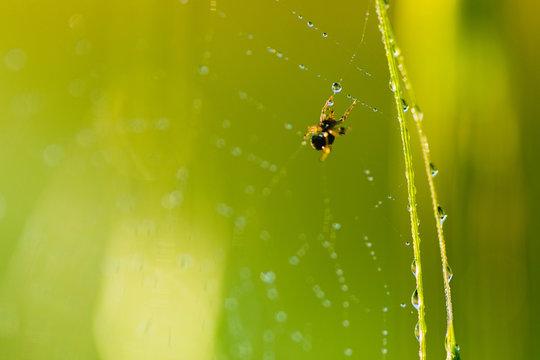 Gocce di rugiada su una ragnatela con ragno in mezzo alle piante verdi.
