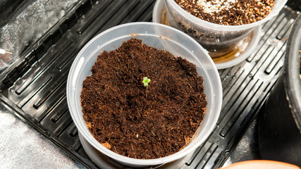 care and cultivation of recreational marijuana. Professional cannabis growing indoors.
