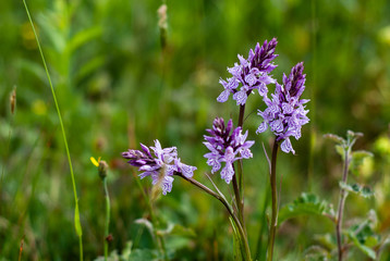 Wild Orchis in The Netherlands