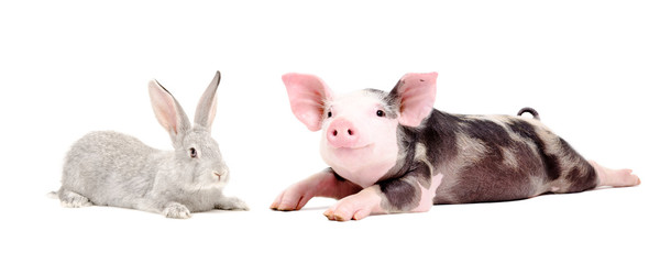 Funny pig and cute rabbit together isolated on white background