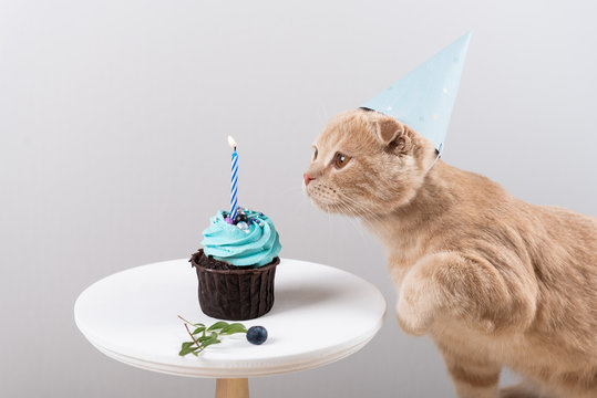 Making a wish. Cute cat in birthday hat with delicious cupcake with candle on light background