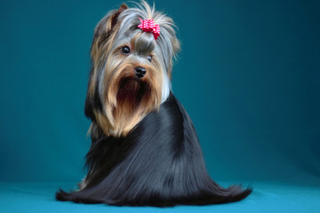 Portrait yorkshire terrier long haired in grooming. Sitting and looking towards back on turquiose background Wall mural