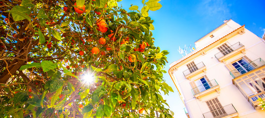 Wall Mural - Orange tree in sunny Valencia, Spain