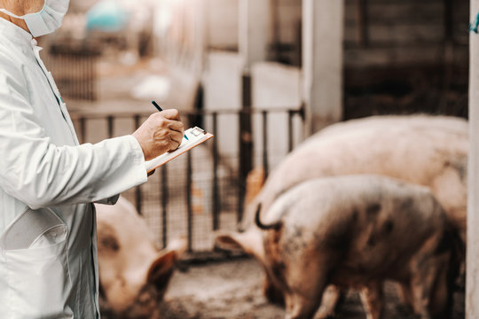 Mature veterinarian in white coat and mask on face writing down in clipboard results of examination. In background pigs in cote.