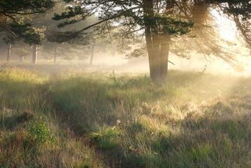 Wall Mural - morning sunshine through pine trees over walk path