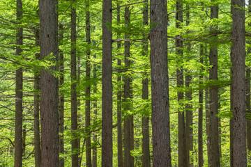 新緑の上高地-小梨平キャンプ場のカラマツ林