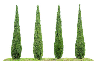 Four isolated cypresses on a white background Wall mural