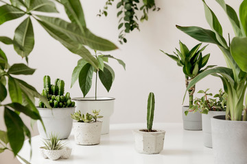 Acrylic Prints Plant Stylish and botany composition of home interior garden filled a lot of plants in different design, elegant pots on the white table. White backgrounds walls. Green is better. Spring blossom. Template.