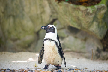 Front view of a jackass penguin
