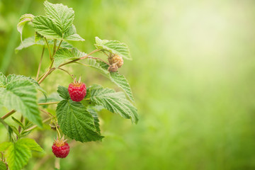 Background with Branch of ripe red raspberry berries