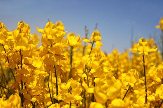 Flowering of broom in spring, yellow flower flowering in spring