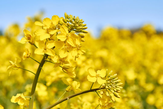 yellow field during rapeseed bloom at the end of May