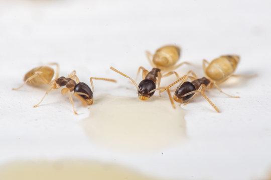 Tapinoma melanocephalum ghost ants feeding on spilt food in a kitchen in the tropics