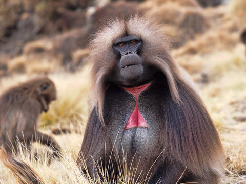 The male Gelada, Theropithecus gelada,  in Simien Mountains of Ethiopia