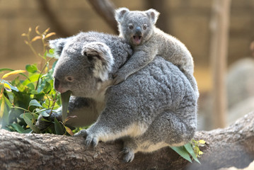 Wall Murals Koala コアラの母子 〜赤ちゃんコアラをおんぶする母コアラ〜
