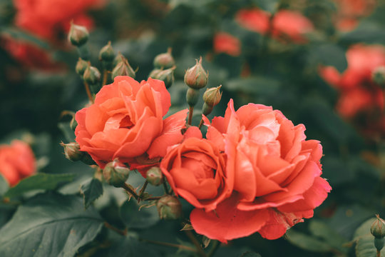 Beautiful bush of tea roses. Spring and summer flower.  Rose garden. Nature and botany theme.