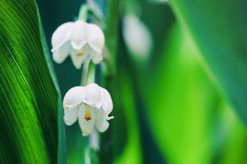 Tuinposter Lelietje van dalen Blossoming flowers of lily of the valley in early morning outdoors macro