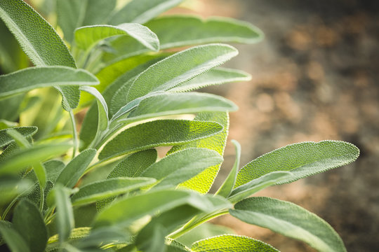 Aromatic common sage leaves