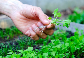 Male's hand holding microgreens on seedbed background. Farmer inspect fresh rocket salad sprouts in garden. Healthy food concept