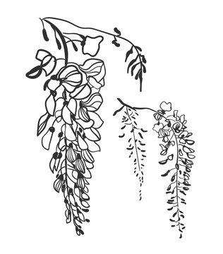 vector sketch illustration design elements plant wisteria