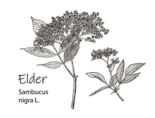 Elderflower branch isolated on white background. Hand drawn elder or sambucus with flowers and leaves. Vector illustration engraved.