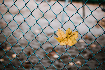 Yellow, Autumn Maple Leaf on Fence