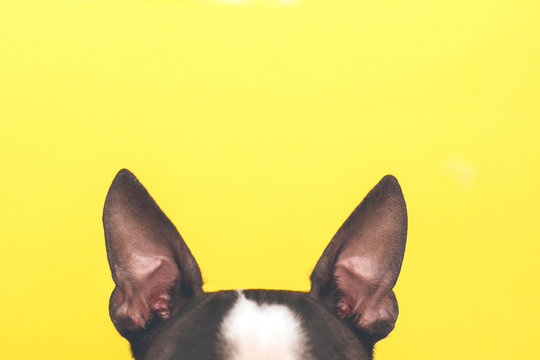 Portrait of a Boston Terrier dog with big ears looking up against a yellow background.