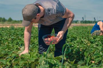 Two men harvest strawberries on a field in Germany..