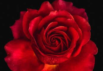 macro of a deep red glowing rose blossom on black background, vibrant colored fine art still life image of a single isolated bloom with detailed texture