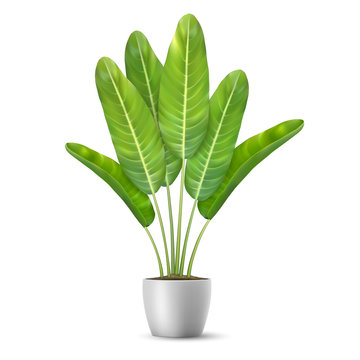 Banana tree leaves in flower pot.Palm plant. Indoor plant for interior decor. Isolated on white background.