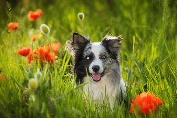 Border collie dog with poppy flowers