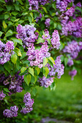 Wall Murals Lilac Purple lilac blossoms blooming in springtime
