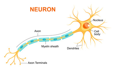 Illustration of neuron anatomy. Vector infographic (Neuron, nerve cell axon and myelin sheath)