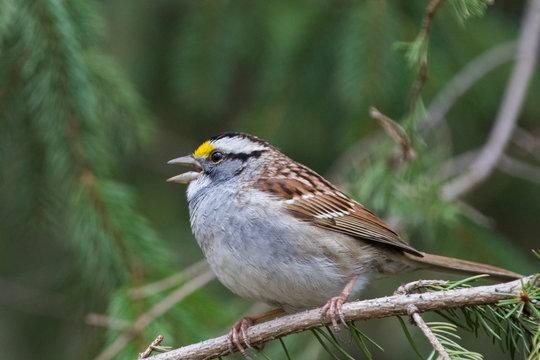 white-throated sparrow (Zonotrichia albicollis) in spring