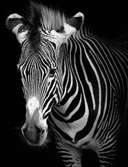 Wall Mural -  portrait of a zebra in black and white