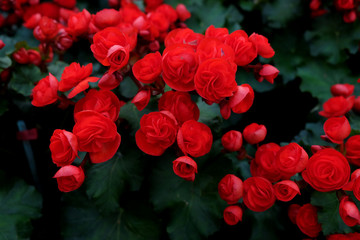 Begonia planted with colorful flowers. blossoming in the garden