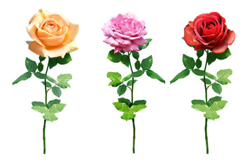 collection of rose Isolated on white background