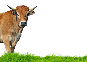 Cow isolated on white background. Wall mural