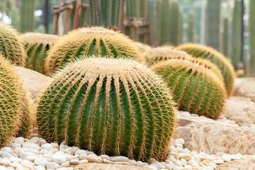 Photo sur Aluminium Cactus Echinocactus grusonii or a golden bucket. A beautiful cactus garden arrangement.