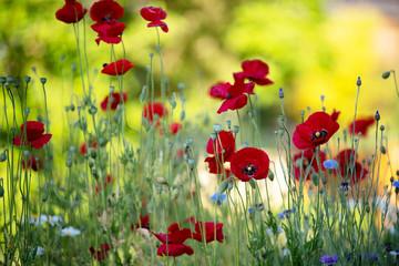Foto op Aluminium Zwavel geel Sommer Garten mit Klatschmohn, Kornblumen buntes Sommer Gefühl