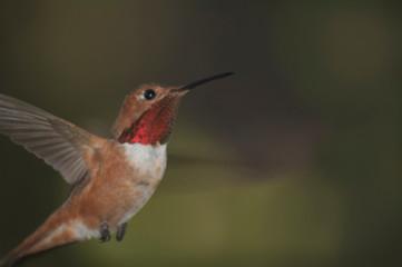Tiny Ruby throated hummingbird in flight green dark background 02