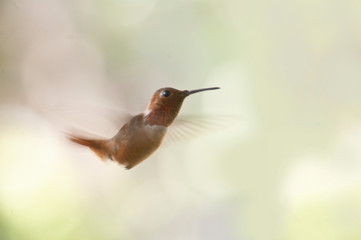 Brown and Red hummingbird in flight light green background