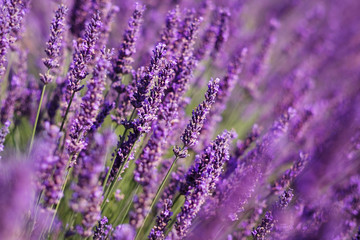 Papiers peints Lavande Flowers in the lavender fields in the Provence, France.