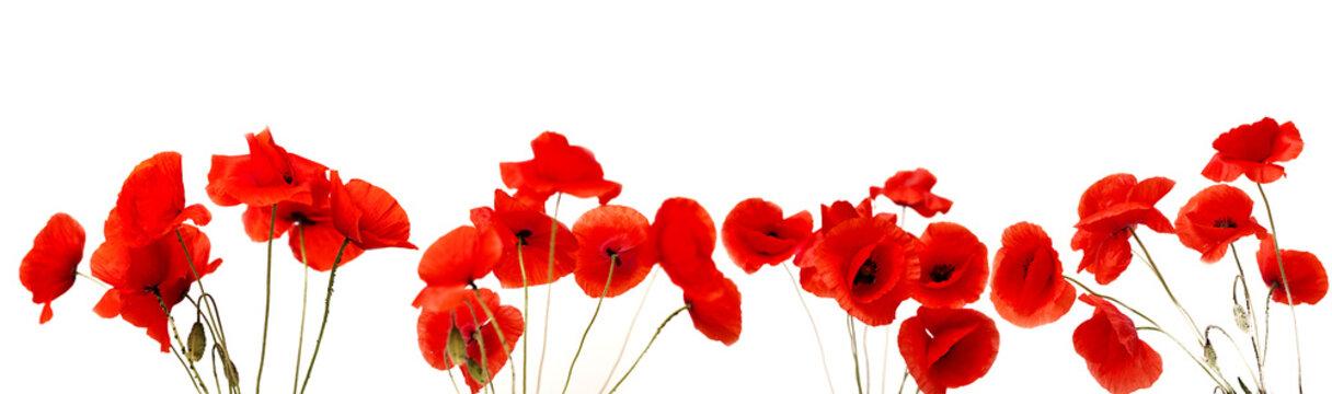 Red Poppy flower on white background