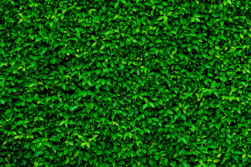 Backdrop and texture of green leaves natural wall