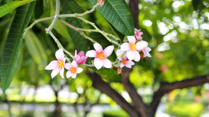 Pink and white  Frangipani flowers in garden