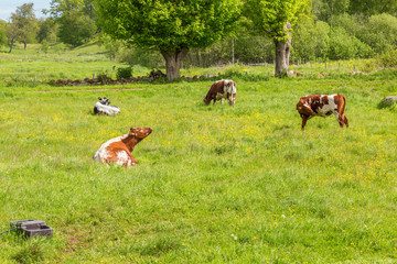 Grazing cows on a summer meadow