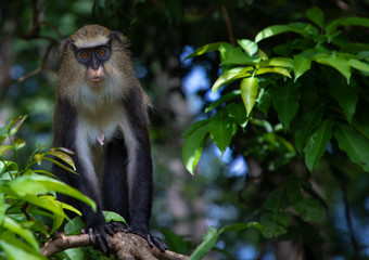Staring macaque monkey in the forest, Tonkpi Region, Man, Ivory Coast
