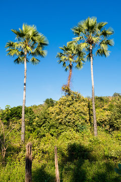 Carnauba palms (Copernicia prunifera) against blue sky in Oeiras, Piaui state - Brazil